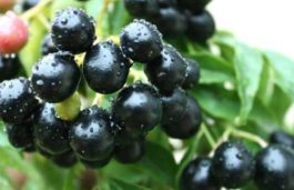 Scientists at IIT Roorkee Create More Efficient and Low Cost Solar Cells Using Jamun